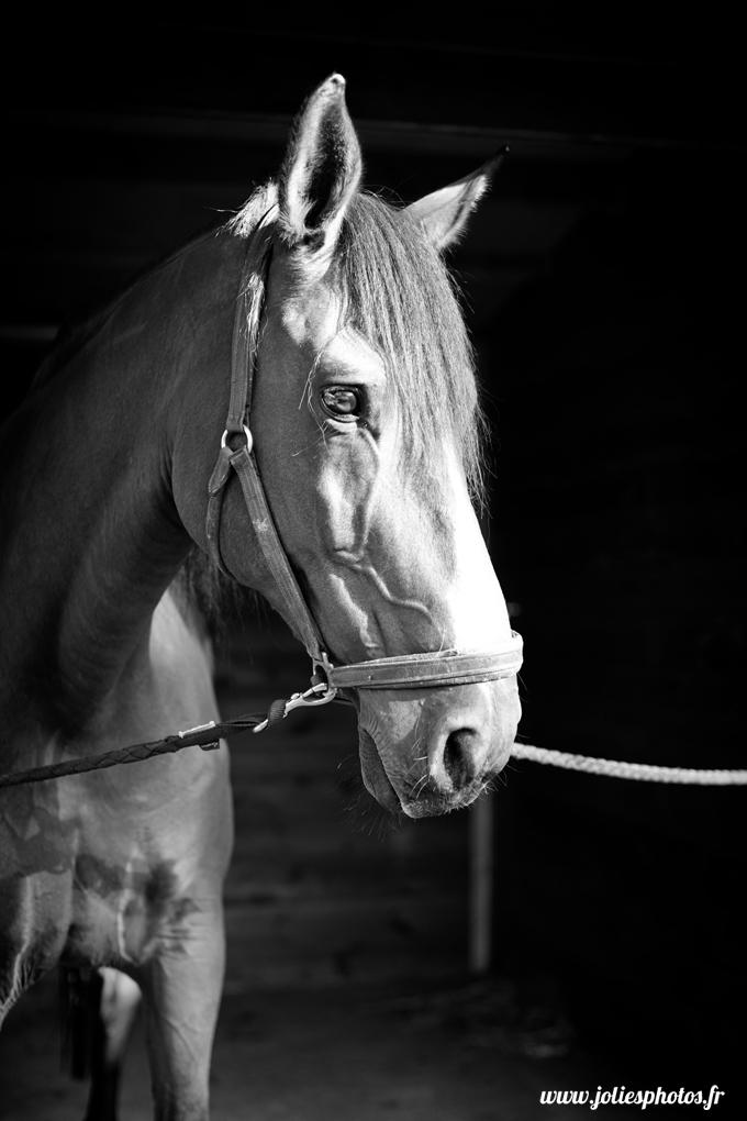 photographe_chevaux_animaux_nancy_luneville-28